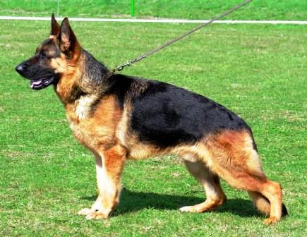 german shepherd border collie mix pictures