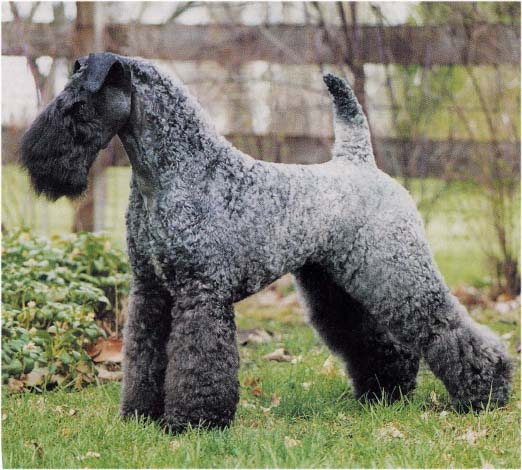 kerry_blue_terrier.jpg