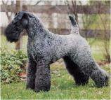 Kerry Blue Terrier