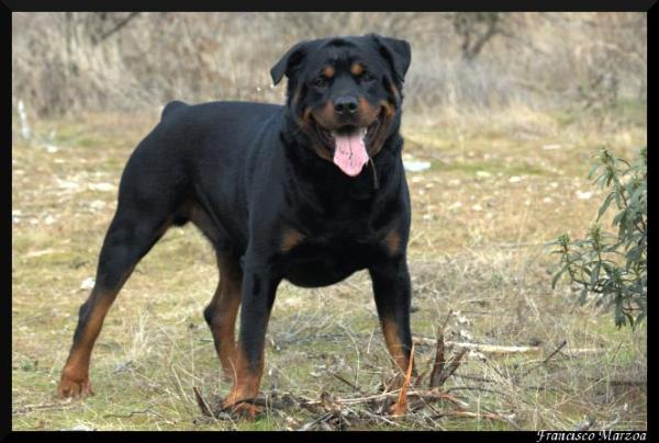 Pitbull Mix with Rottweiler