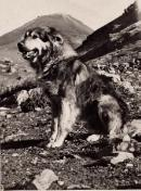 Yugoslavian Shepherd Dog-Sharplaninac